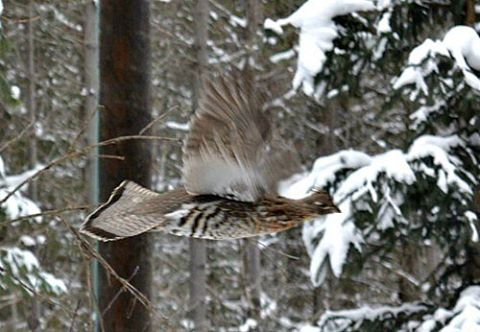 This grouse was leaving in a hurry! Guess he didnthellip