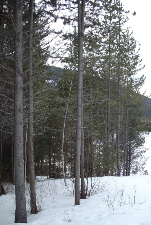 Lodgepole Pine Trees and our pasture in mid-March