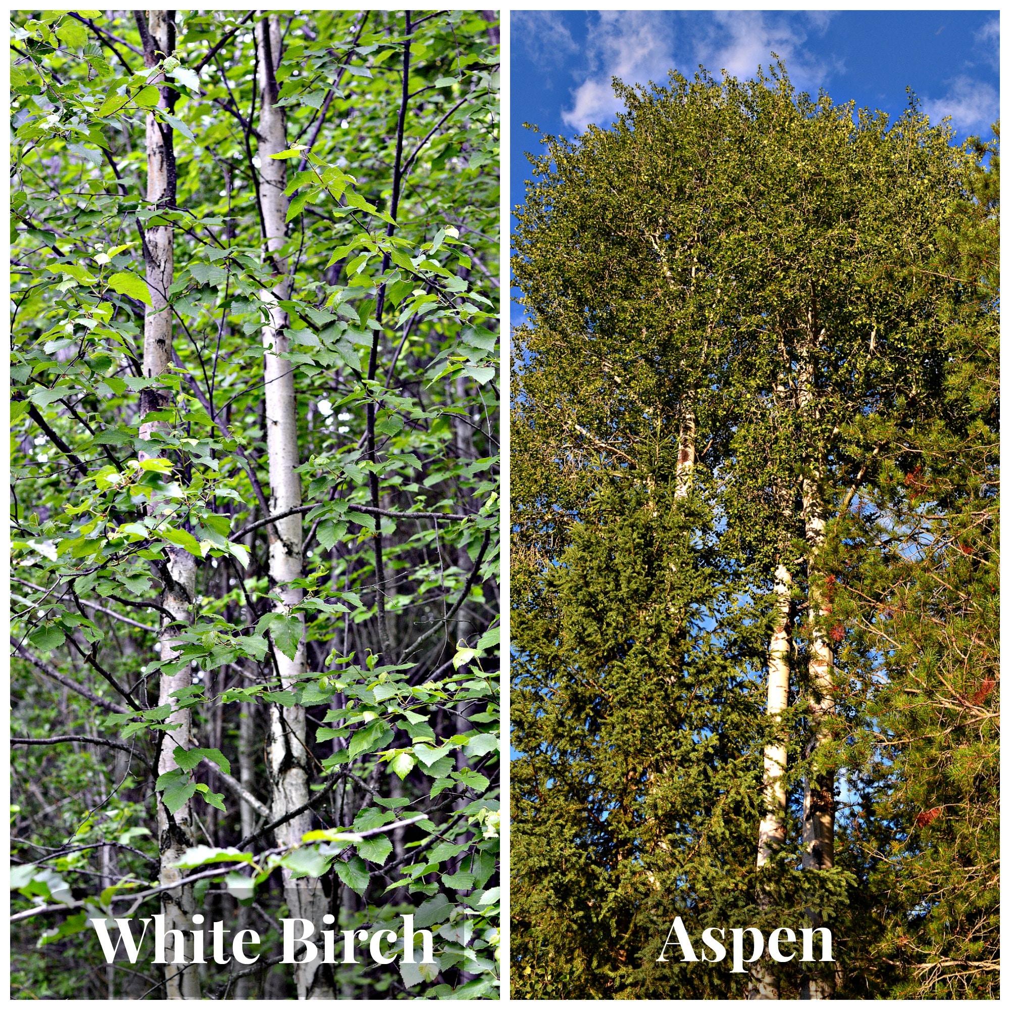 A comparison of Birch (left) and Aspen (right)