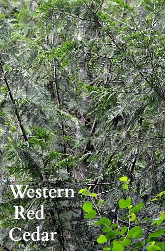 Health Challenges Western Red Cedar
