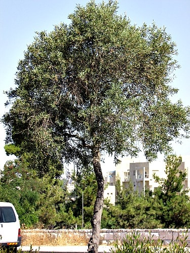 Olive Wood, an olive tree in Jerusalem Israel